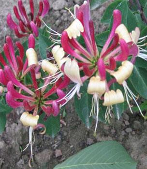 Будлея растения открытого грунта