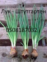 Продам лук севок Штутгартен на зелень. цена 6 гр.