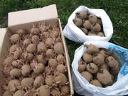 продам картошку семенную