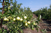 Продам яблуневий сад