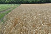 семена озимой пшеницы , высокоурожайный сорт Фаворитка