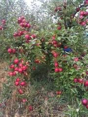 Продам яблоки,  айдарет,  от 1 тоны
