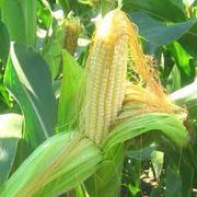 Продам кукурузу  2000 тонн