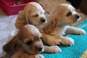Продаются щенки американского кокер-спаниеля