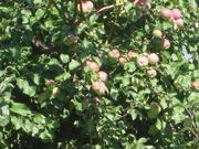 3-х летний сад яблони осень-зима и дом 40 м.кв.