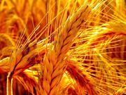 Зерновые,  пшеница,  ячмень,  кукуруза,  рапс,  подсолнечник