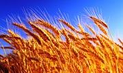 Куплю рапс подсолнечник ячмень пшеницу