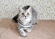 Шотландские котята. Винница.