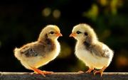Продаж курчат м'ясо-яєчних та м'ясних порід.