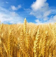 Пшеница,  ячмень,  рапс,  горох куплю с места